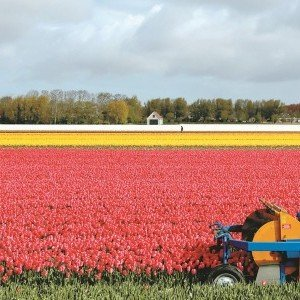 花農沃梅爾丹駕著農用機車,小心翼翼地在一片如詩如畫的的郁金花田內採收花朵。
