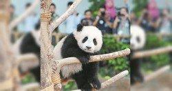 在大馬出生的熊貓「暖暖」,將於11月前送回中國成都。