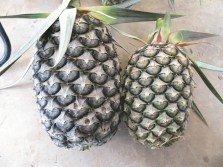 一般的黃梨重量約1公斤(右),3公斤重的黃梨已可屬于大粒。