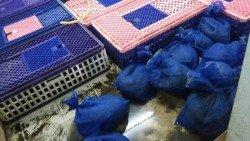 執法人員發現穿山甲被藍色塑料袋包裹,多達141只。