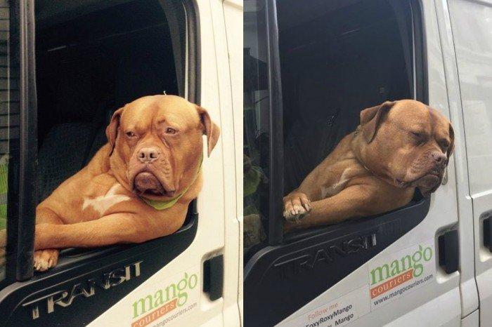 獒犬厌世脸靠貨車副座 走紅升当伦敦吉祥物