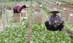 外勞課題一直是金馬侖農業所面對的挑戰,當地業者盼政府批准留住熟練外勞的同時,也允許業者申請的新外勞,以達致外勞「質」與「量」的平衡。 (檔案照)