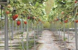 採用水平棚架種植,每一顆草莓都可接受足夠的陽光,讓甜度幾近相同。