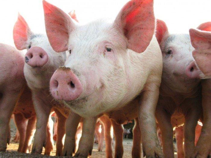 時隔26年 日本豬瘟疫情重現