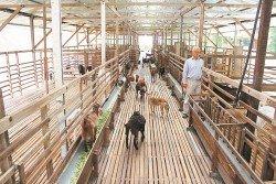 經過3年的努力,何業嘉的羊棚從原有的約30只羊崽,成功擴展至目前近百隻的規模,其中更不包括已出售的公羊。