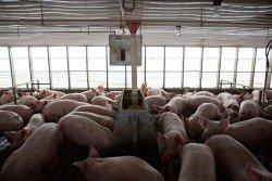 中國據報可能會取消美國的家禽進口禁令,增加採購美國豬肉,並尋求對該國出口家禽產品。這是美國伊利諾伊州波洛市的鄧肯養豬圈。-路透社-