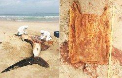 孟奴卜海邊一隻誤吞塑膠袋而活活餓死的鯨鯊。右圖為在其 腹部中發現的塑膠袋。