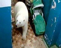 圖為飢餓的北極熊闖入住宅尋覓食物。