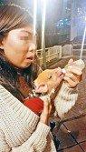 自稱姓鄧「賣豬中介」女子,餵愛豬「麥精」喝蘋果汁時,承認小豬從中國非法走私來港未經檢疫。