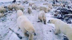 隨著北極熊已經離開,新地島宣布解除緊急狀態,暫時緩解了一觸即發的「人熊衝突」。