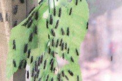養殖業者以往皆認為壽命只有7至10天的黑水虻成蟲,除了交配繁殖再無其他功用,但其實成蟲也可以作為禽畜飼料,如金絲燕。