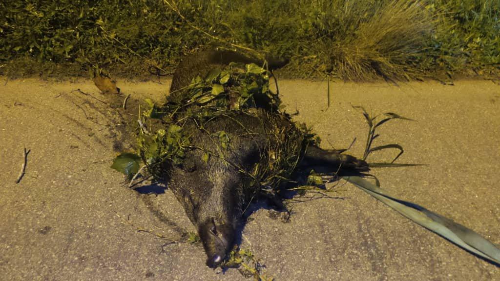 其中一只在双溪冷宜河边树丛被射死的80公斤重山猪尸体。
