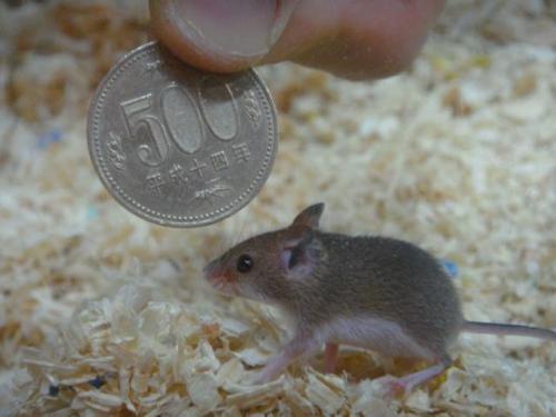 超可愛的拇指鼠 是世界上最小哺乳類