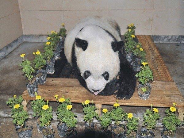 熊猫巴斯离世后的遗容。