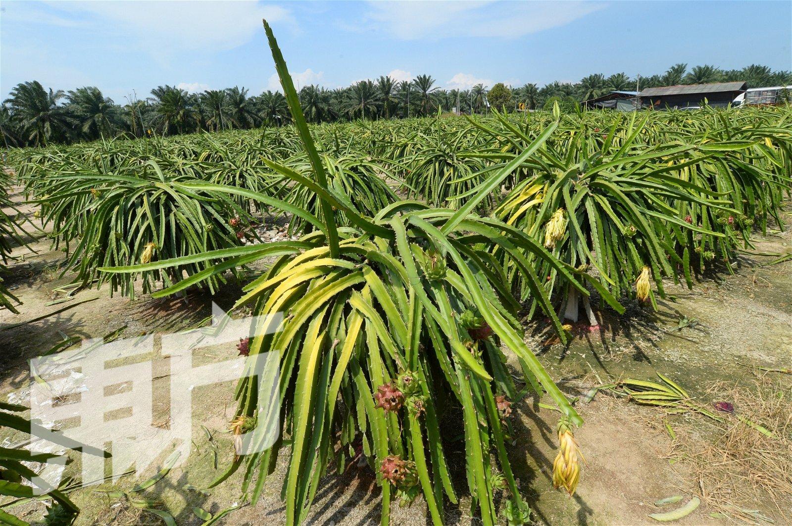 种植火龙果非常讲究气候,碰上雨季或大热天,都会影响火龙果的收成。(摄影:陈启新)