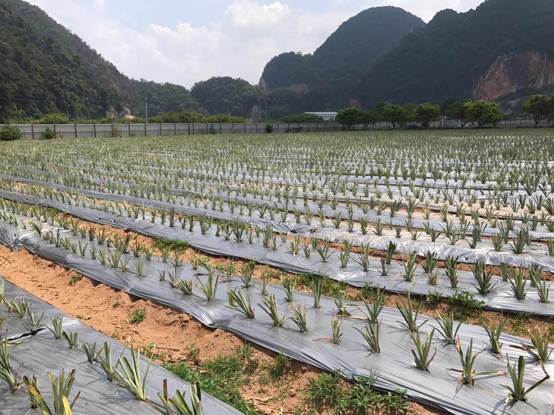 新颖种植黄梨树苗手法,让种植地点更为整齐。