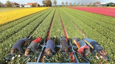 采收工人在机车辅助下,人工采摘机车未收割完的郁金香花朵。