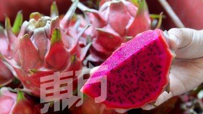 余根荣果园目前只有种植红皮红肉的火龙果。(摄影:陈启新)