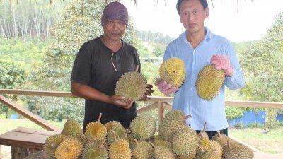 黄天式(右)指有机榴梿园生产的榴梿,香味更浓郁,果实更硕大,旁为阿兹兹。