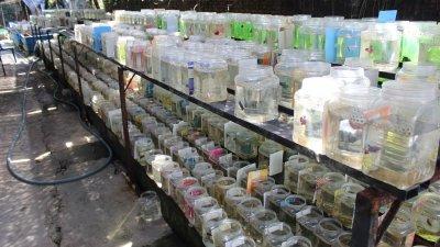 """斗鱼在饲养至3个月大后,就必须进行""""分缸""""工作,以避免斗鱼打架影响身价,如在梁氏的养殖场中,分缸后的斗鱼就有数千条。"""