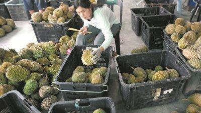 6月至8月就是我国榴梿飘香的季节,正好我国冷冻带壳猫山王在这时成功出口中国,让更多人可以在这个季节品尝榴梿的独特魅力。