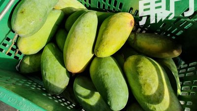 金龙芒的果实呈长椭圆形,也较普通品种的芒果来得大。(摄影:伍信隆)