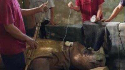 野生物局保育人员细心照顾病危的苏门答腊犀牛塔姆。