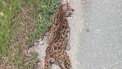 疑被不明交通工具撞及,一只山猫被发现伏尸路旁,头部及嘴部出血。(图取自面子书)