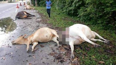 金宝第20碑村附近的一座桥梁大路旁,发现黄牛疑集体中毒死亡。