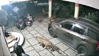 网上流传一段视频,一只花豹闯入民宅庭院,正走向一只在门前熟睡中的黑狗。