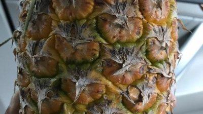 以砂拉越黄梨品种改良而成的MD2品种黄梨,不再让敏感者引发口腔发痒、舌头麻,而且最重可达2公斤以上。